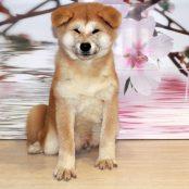 Щенок Акита Ину от 04.07.16