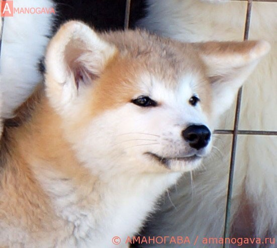 Девочка 1 Акита Ину от 16.04.2017